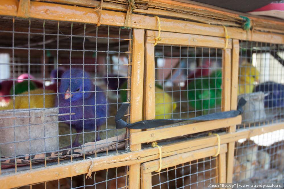 Цветные цыплята в Джокьякарте