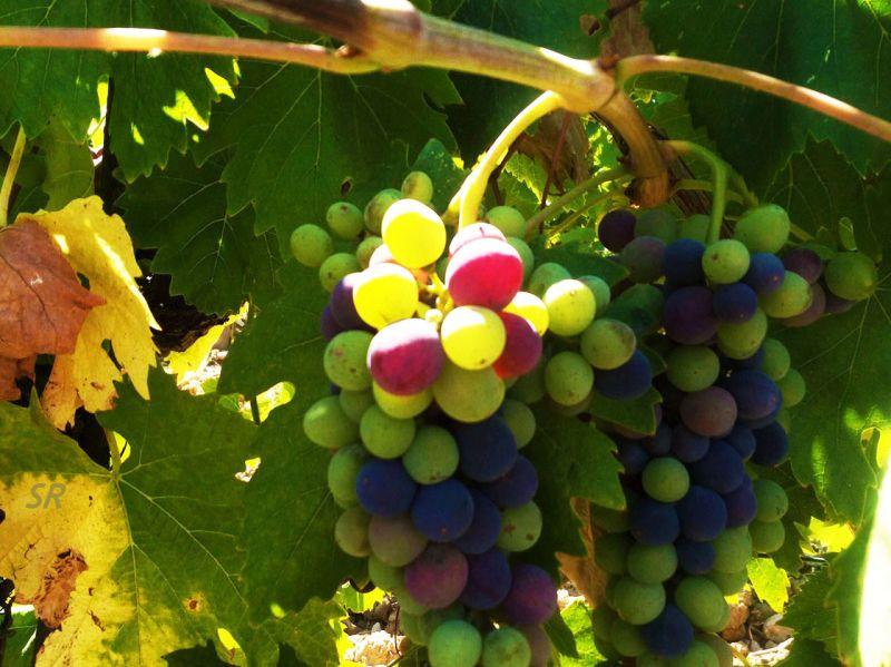 Gallery - July 2017 - Sangiovese grape in Chianti Classico CUT