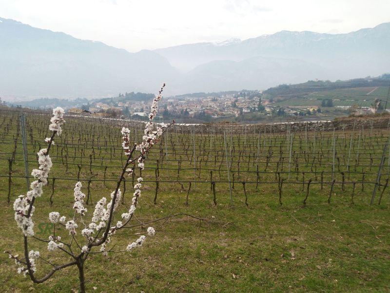Gallery - March 2017 - Trentino vineyards