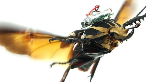 Dieser lebendige Käfer ist eine ferngesteuerte Drohne