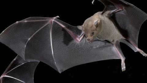 Fledermäuse haben Superkräfte — zumindest wenn es um tödliche Krankheiten geht