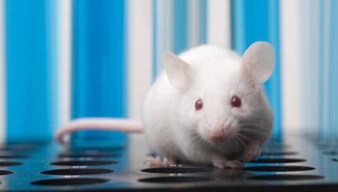Gentherapie lässt taube Mäuse wieder hören – bald auch Menschen?