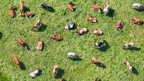 Wie Mathematiker die Dynamik von Rinderherden entschlüsseln