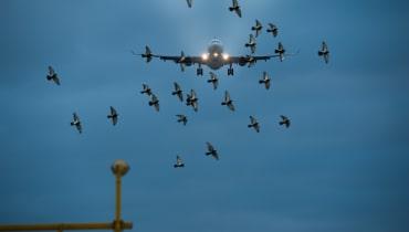 Autonome Drohnen sollen Vögel von Flughäfen vertreiben