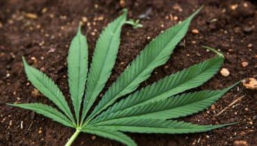 Kalifornisches Gras soll der Champagner des Marihuanas werden