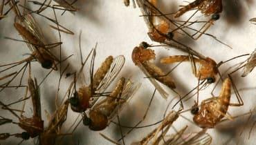 Genmanipulierte Moskitos sollen helfen, Malaria zu bekämpfen
