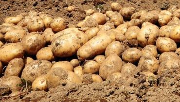 """Kartoffel-Blockchain-Start-up verschwindet und hinterlässt nur das Wort """"Penis"""""""