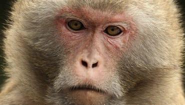 Das Verhütungsgel für Männer wurde erfolgreich an Affen getestet