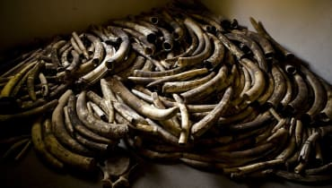 Illegaler Handel mit Elfenbein: Elefanten-DNA hilft bei der Jagd auf Wilderer