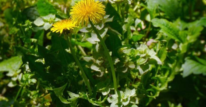 Don't Throw Those Dandelion Greens Away!: There's Powerful Medicine for Springtime in Those Garden Weeds
