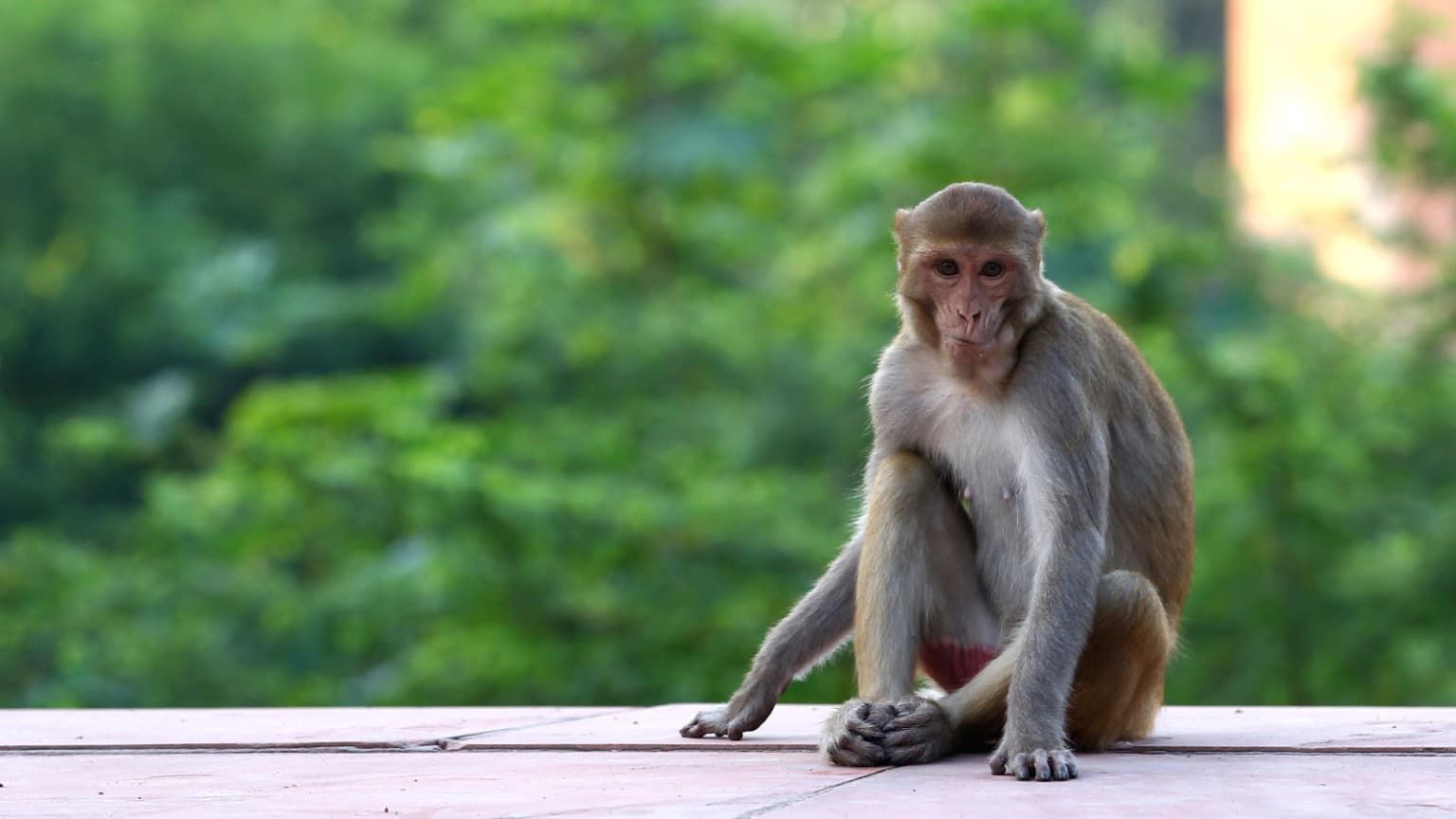 India's Monkeys Keep Killing People, so Scientists Are Trying Radical New Sterilization Strategies