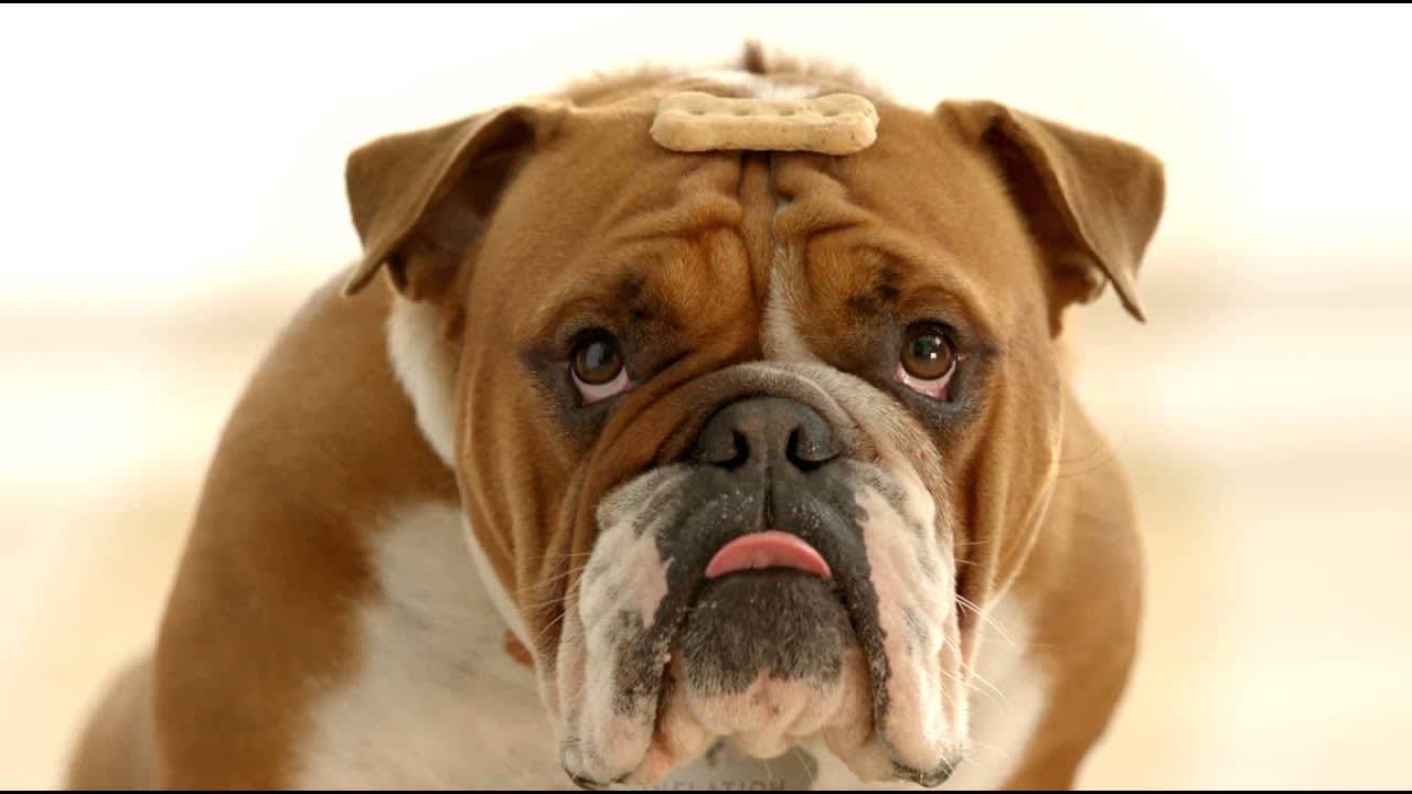 Inflation the Bulldog.