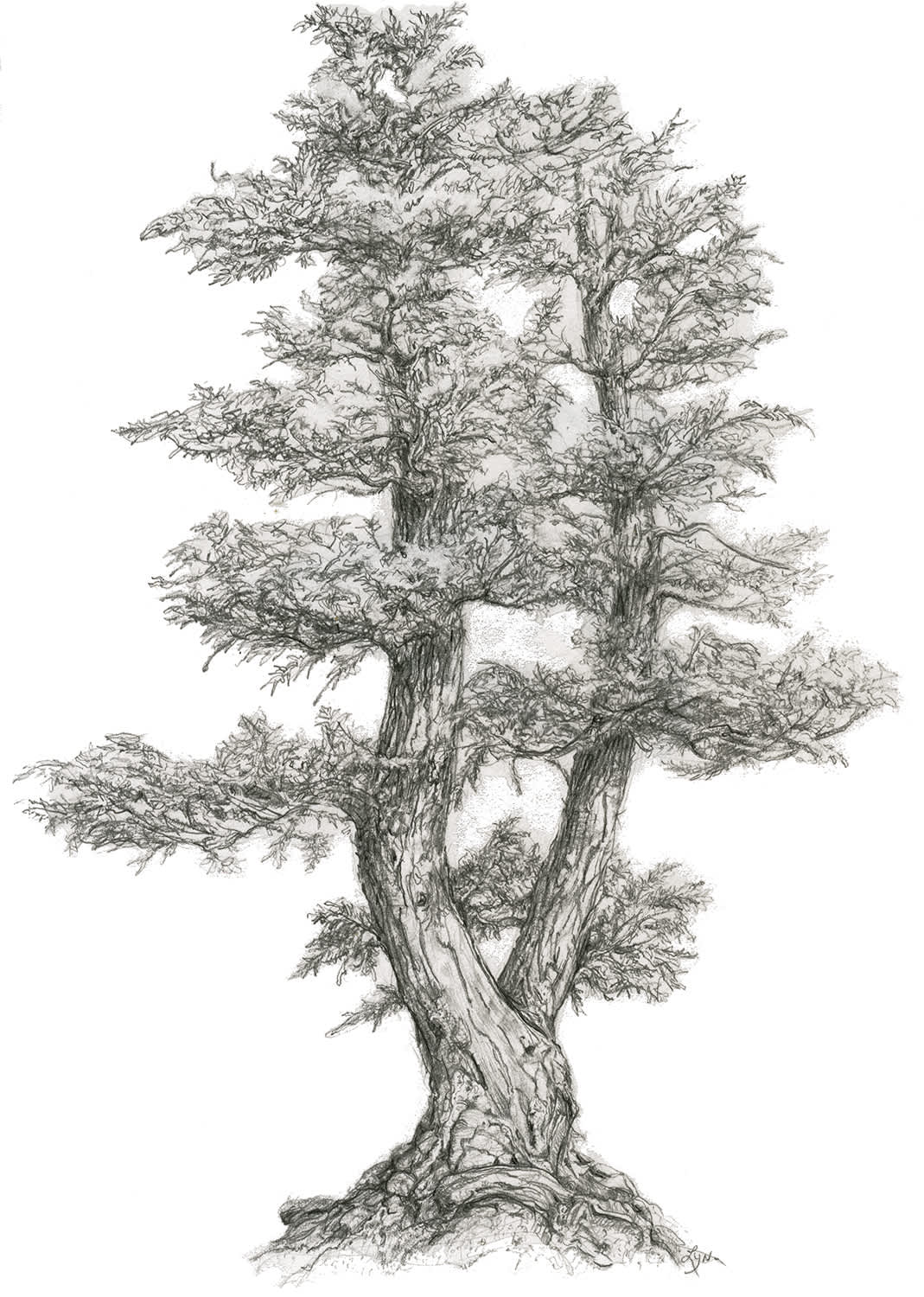Denver Botanical Gardens Bonsai Illustration