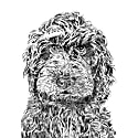 Rusty the Labradoodle Print image