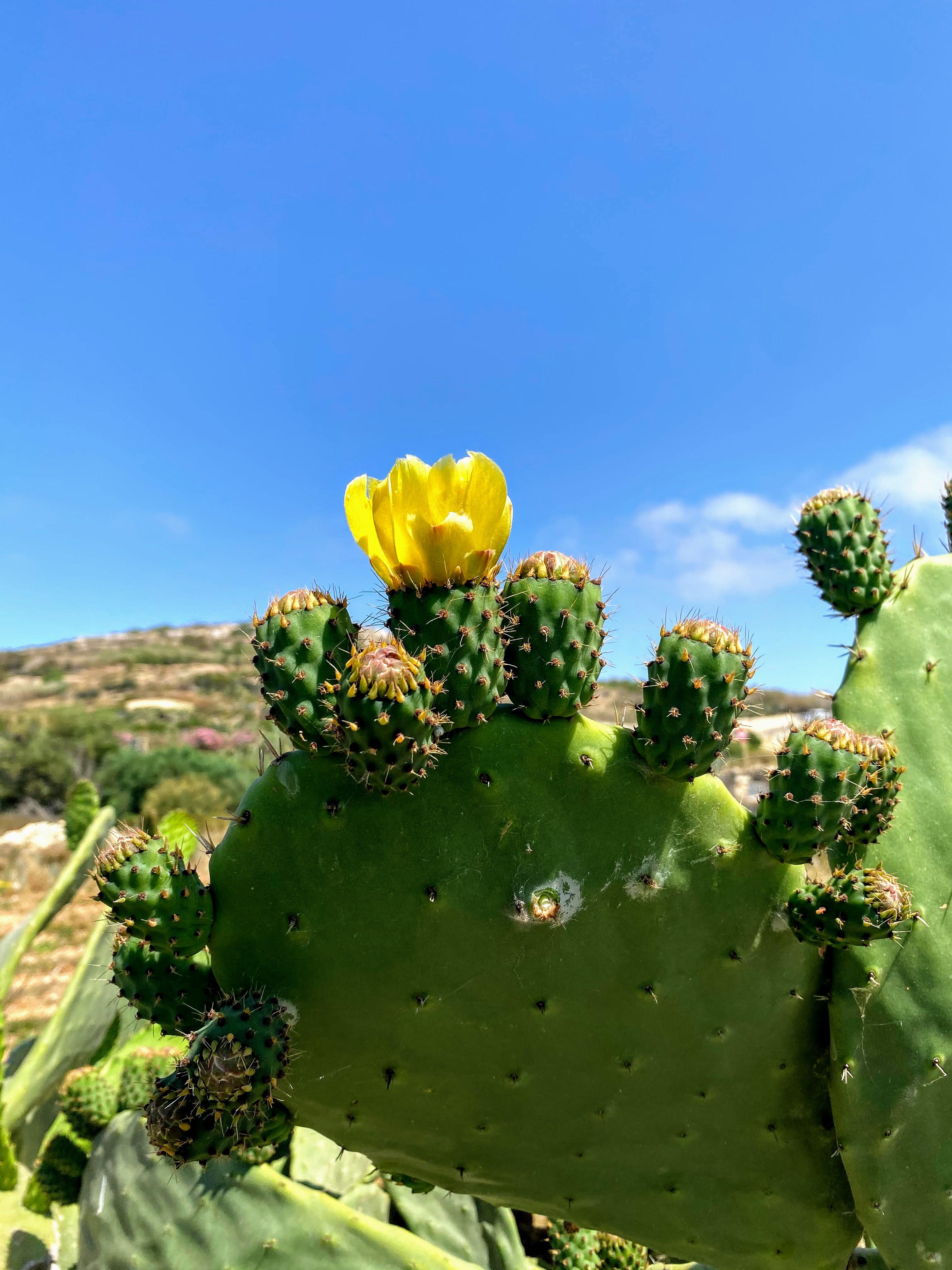 cactus malta