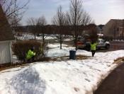 Rejuvenative shrub pruning
