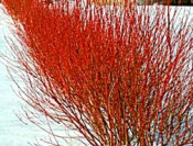 Properly pruned Dogwood winter color