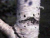 Bronze Birch Borer