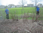 Rejuvenative Dogwood pruning in-progress