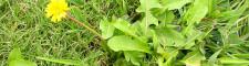 Turf Weed Control
