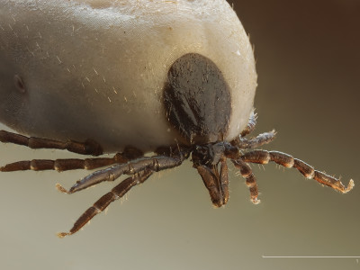 A close up picture of a tick after sucking on an animals blood and at almost full capacity.