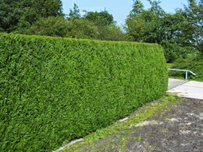 Hedge and Shrub Trimming