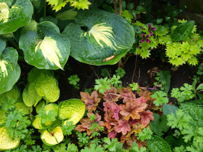 Study in colour and texture with hosta , coral bells, Japanese maple.
