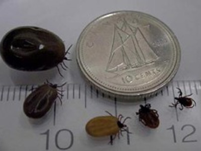 The picture shows how big the tick becomes after it feeds  on the blood of a  host.