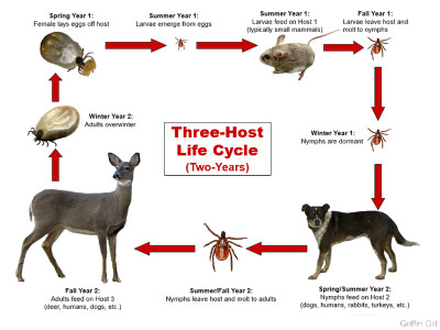 The life cycle of a tick.