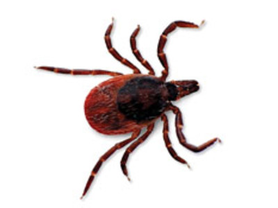 The Black legged tick is the most common tick to transfer the disease.
