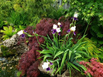 Nice texture contrast of Bearded Iris with Tamukeyama Japanese Maple
