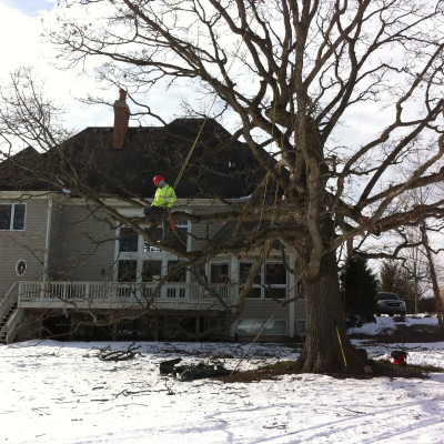 Mature Oak Pruning