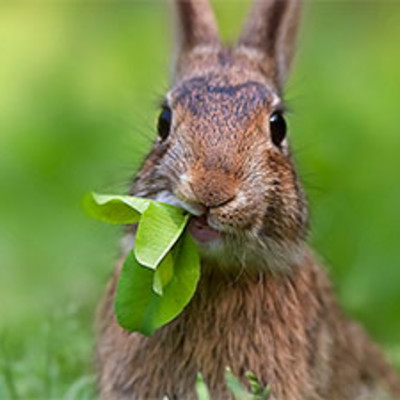 Rabbit Feeding