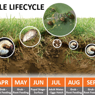 Grub-Japanese Beetle Lifecycle (Photo Credit: A.M. Leonard)