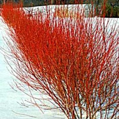 Properly pruned Dogwood winter color