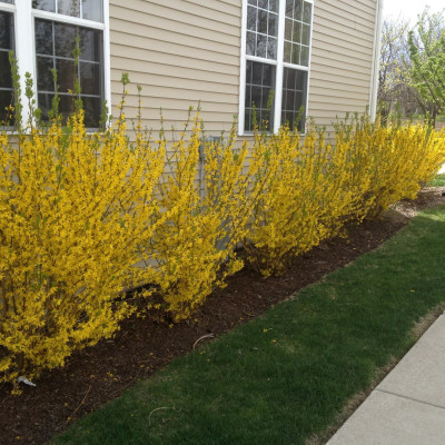 Properly pruned blooming Forsythia
