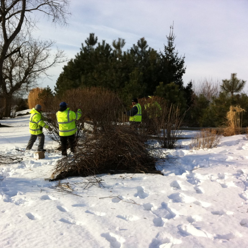 Rejuvenative shrub pruning