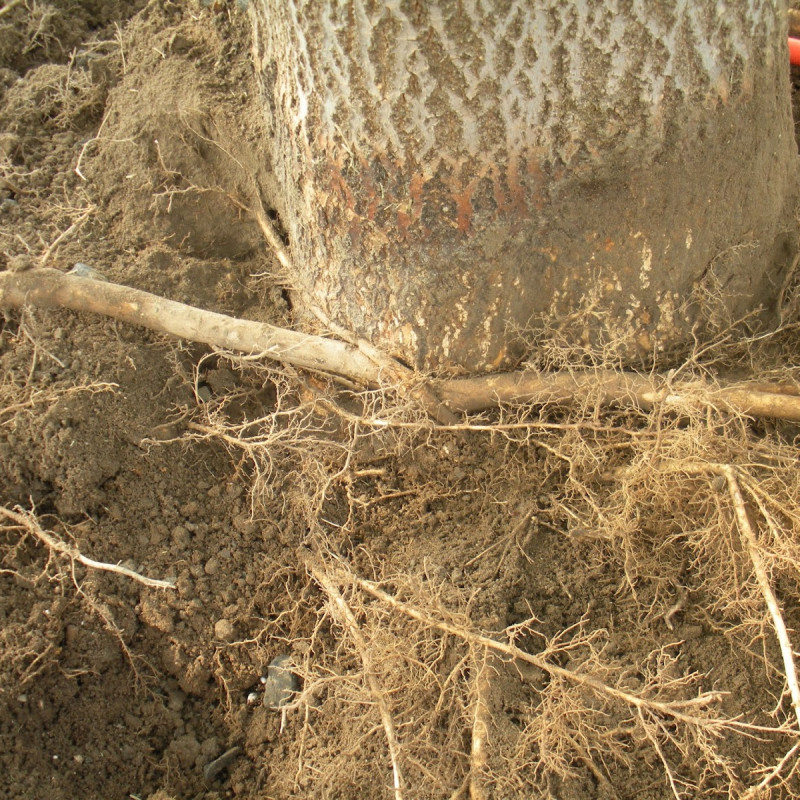 Girdling Root Development