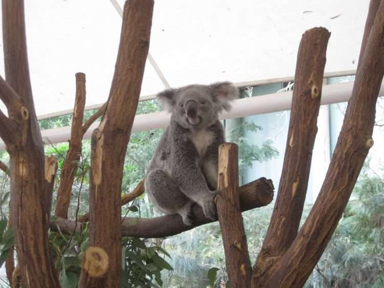 Koalas y más koalas en Long Pine Koala Sanctuary