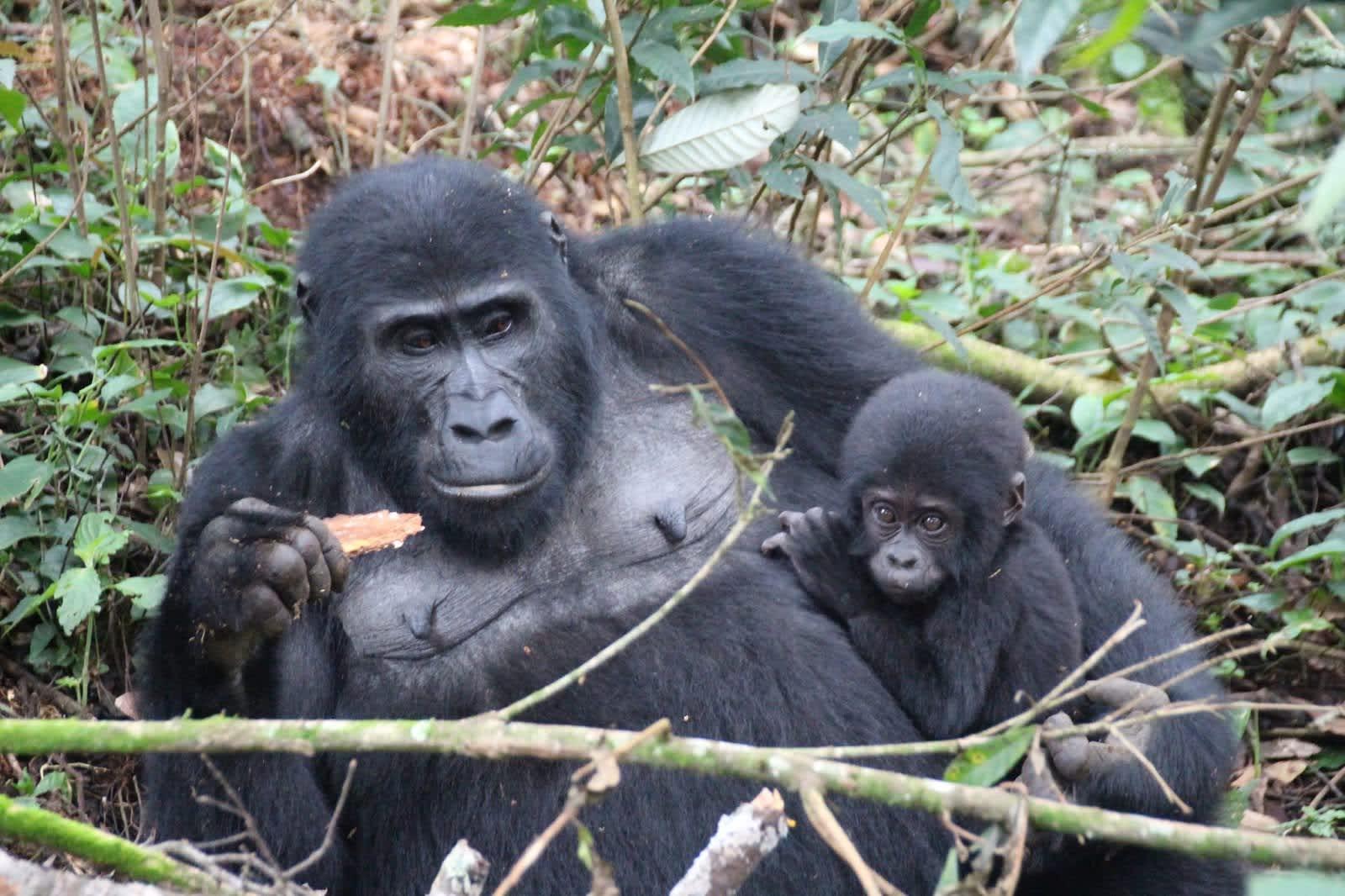 Un día con los gorilas en la Selva Impenetrable de Bwindi