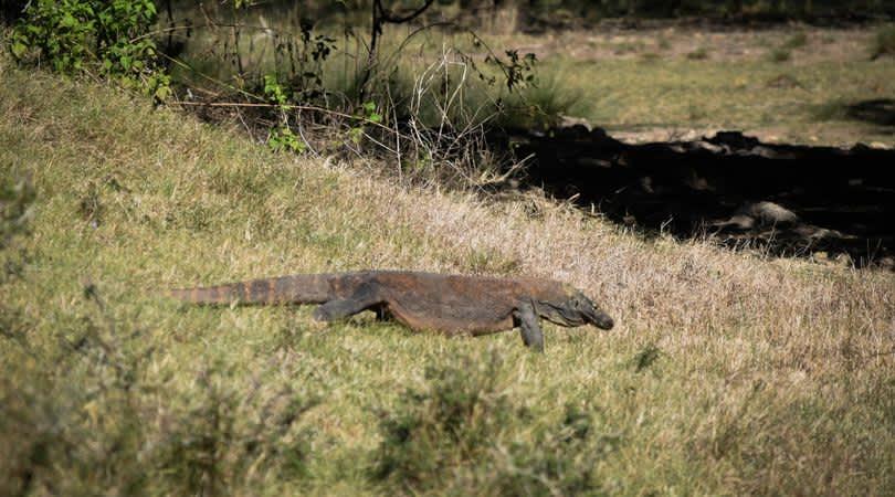 Cara a cara con los dragones de Komodo