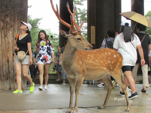 Los ciervos de Nara, particulares mensajeros de los dioses