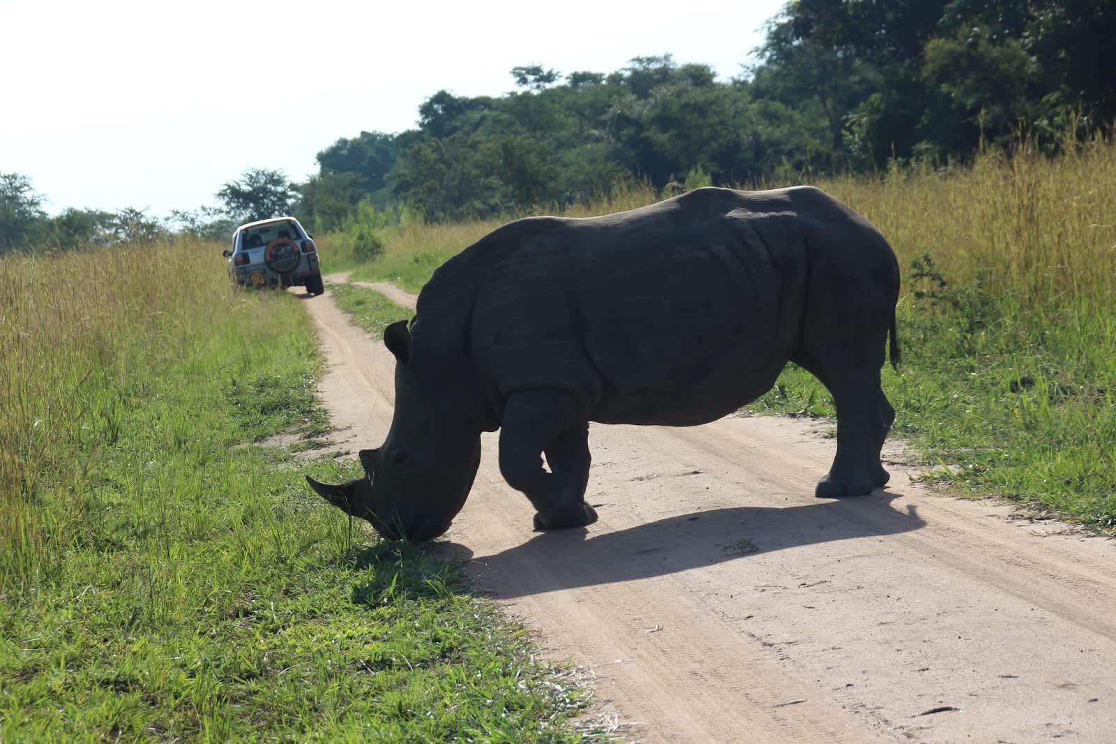 Una tarde con los rinocerontes blancos de Ziwa