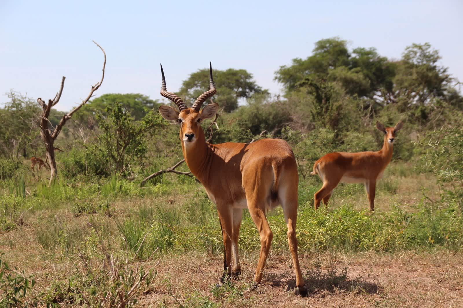 Safari en Kidepo Valley NP, en Uganda
