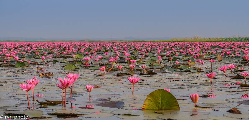 Red Lotus Lake, el mar de lotos rojos en Udon Thani