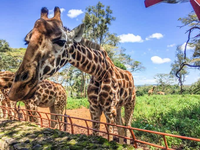 Kenya, un día en Nairobi. Orfanato de elefantes y Centro de Jirafas