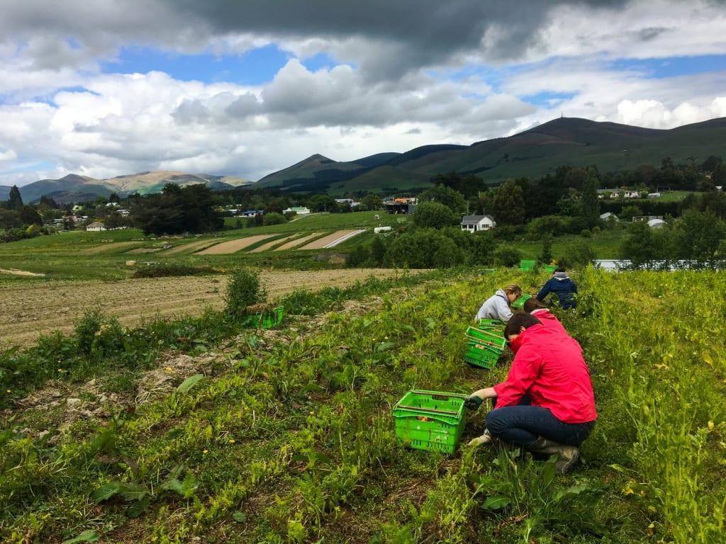 voluntariado-en-granja-organica-en-nueva-zelanda