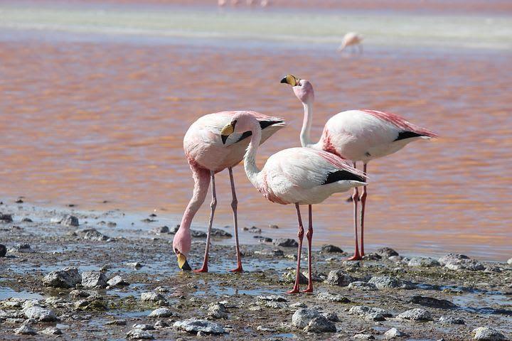 Cómo viajar por el norte de Chile con bajo presupuesto - Worldpackers - flamencos en laguna rosada en el norte de chile