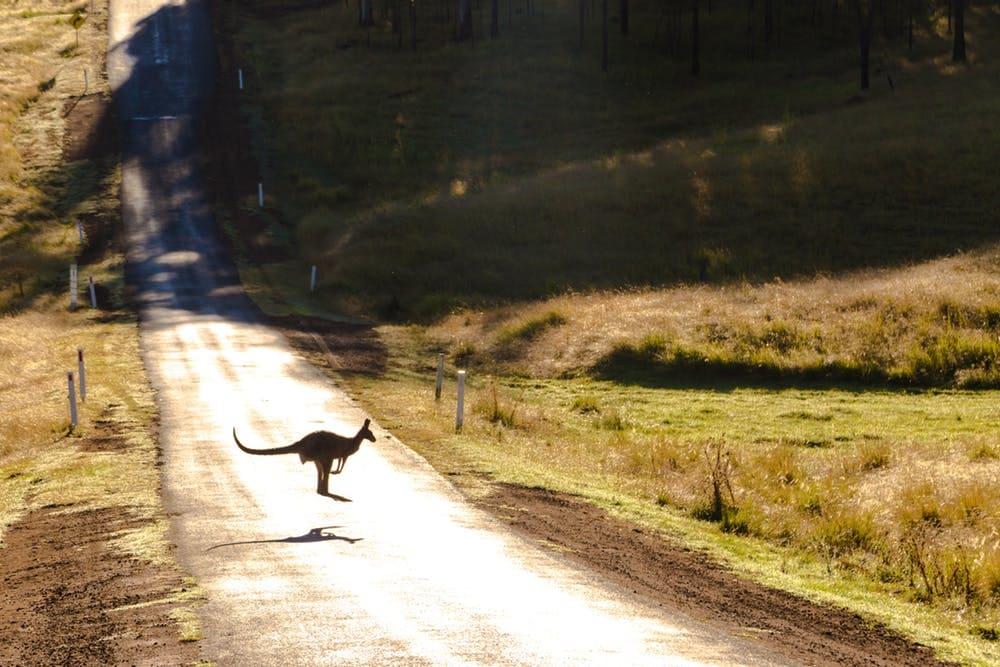 Cómo viajar barato por Australia: itinerarios, consejos y demás - Worldpackers - canguro saltando en medio de la ruta
