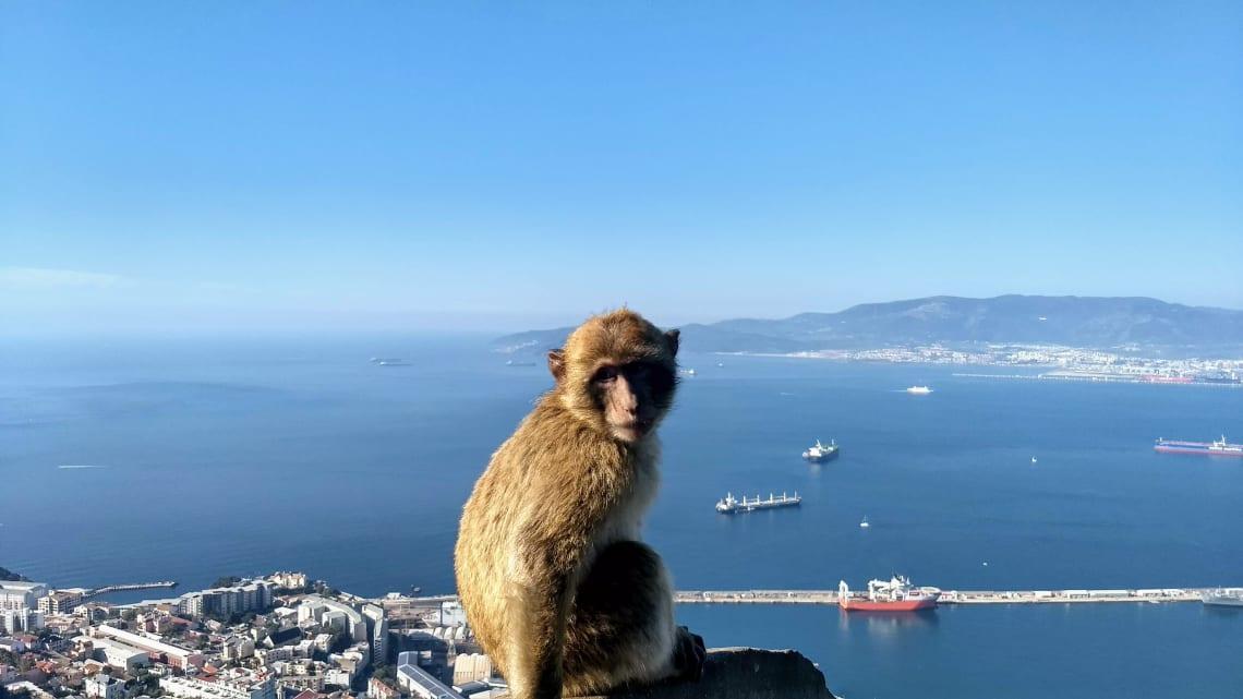 Macaco de Gibraltar e vista da cidade ao fundo